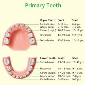 Baby (Primary) Teeth chart